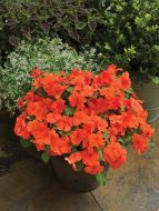 Accent Premium Salmon (Impatiens)