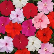 Accent Premium Pastel Mix (Impatiens)