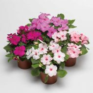 Accent Premium Mystic Mix (Impatiens)