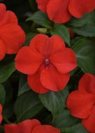 Beacon Bright Red (Impatiens)