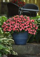 Beacon Coral (Impatiens)