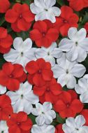 Beacon Red/White Mix (Impatiens)