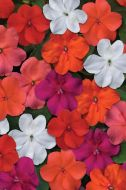 Beacon Select Mix (Impatiens)