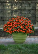 Beacon Orange (Impatiens)