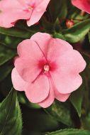 Divine Pink (Impatiens)