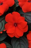 Divine Orange Bronze Leaf (Impatiens)