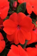 Divine Orange Green Leaf (Impatiens)