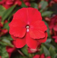 Florific Red (Impatiens/New Guinea)