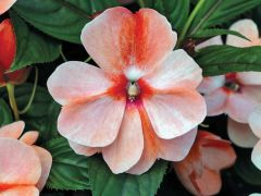 Florific Sweet Orange (Impatiens)