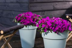 Imara XDR Purple (Impatiens)