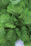Florida Broadleaf (Mustard Greens/O/P)