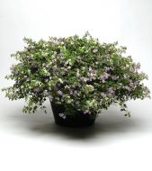 Fuseables® - Utopia (White Bacopa/Blue Bacopa)