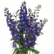 Guardian Blue (Delphinium)