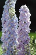 Guardian Lavender (Delphinium)
