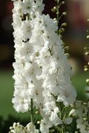 Guardian White (Delphinium)