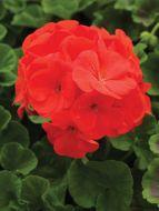 Pinto Premium Coral (Geranium)