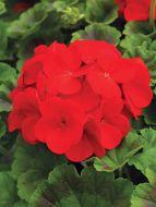 Pinto Premium Deep Red (Geranium)