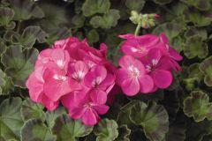 Pinto Premium Deep Rose (Geranium)
