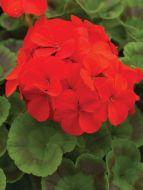 Pinto Premium Scarlet (Geranium)
