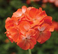 Pinto Premium Orange Bicolor (Geranium)