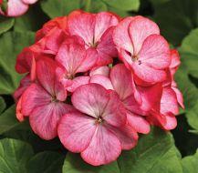 Pinto Premium Rose Bicolor (Geranium)