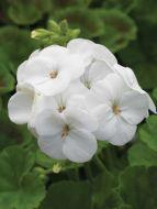 Pinto Premium White (Geranium)