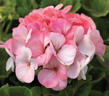 Pinto Premium White to Rose (Geranium)