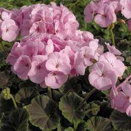 BullsEye Light Pink (Geranium)