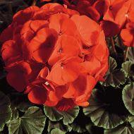 BullsEye Scarlet (geranium)