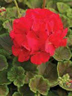 BullsEye Red (Geranium)