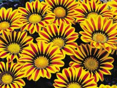 Big Kiss™ Yellow Flame (Gazania)