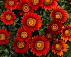 Big Kiss Red (Gazania)
