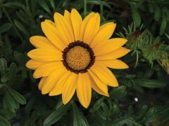 Big Kiss Yellow (Gazania)