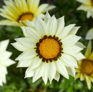 Big Kiss White (Hybrid Gazania)