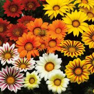 Big Kiss Mix (Gazania)