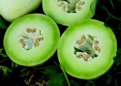 Summer Dew (Melon/hybrid/honeydew)