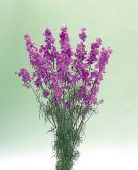 Lilac (Larkspur)
