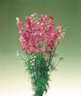 Rose Stripe (Larkspur)