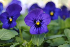 Sorbet XP Blue Blotch (Viola)