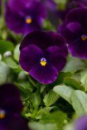 Sorbet XP Purple (Viola)