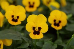 Sorbet XP Yellow Blotch (Viola)