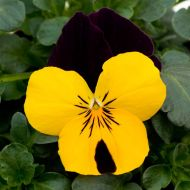 Sorbet XP Yellow Jump Up (Viola)