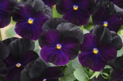 Sorbet XP Blackberry (Viola)