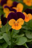 Sorbet XP Orange Jump Up (Viola)