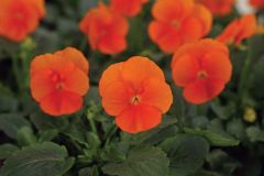 Sorbet XP Deep Orange (Hybrid/Viola)