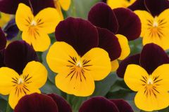 Sorbet XP Yellow Burgundy Jump Up (Viola)