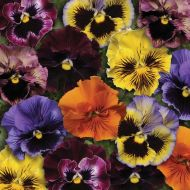 Frizzle Sizzle Mix (Pansy)