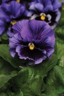 Frizzle Sizzle Blue (Pansy)