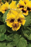 Frizzle Sizzle Yellow (Pansy)