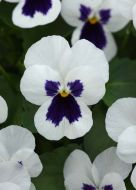 Quicktime White Blotch (Viola)